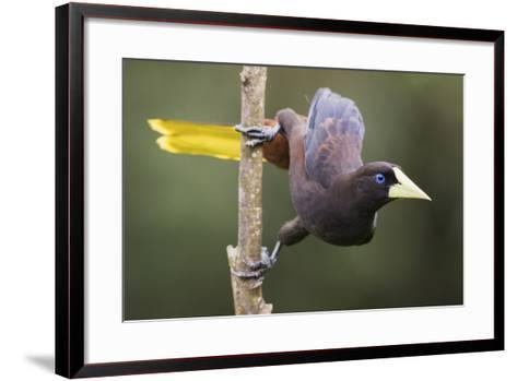 Crested Oropendola-Ken Archer-Framed Art Print