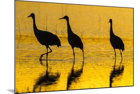 New Mexico, Bosque Del Apache National Wildlife Refuge. Sandhill Cranes at Sunset-Jaynes Gallery-Mounted Photographic Print