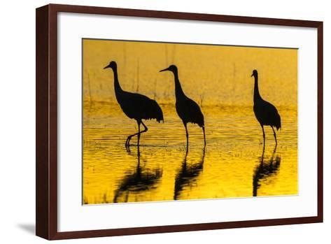 New Mexico, Bosque Del Apache National Wildlife Refuge. Sandhill Cranes at Sunset-Jaynes Gallery-Framed Art Print