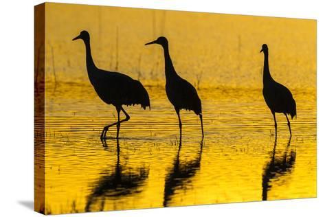 New Mexico, Bosque Del Apache National Wildlife Refuge. Sandhill Cranes at Sunset-Jaynes Gallery-Stretched Canvas Print