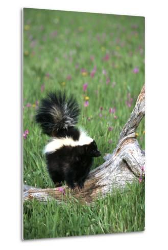 Striped Skunk in Field of Flowers, Montana-Richard and Susan Day-Metal Print