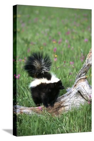 Striped Skunk in Field of Flowers, Montana-Richard and Susan Day-Stretched Canvas Print
