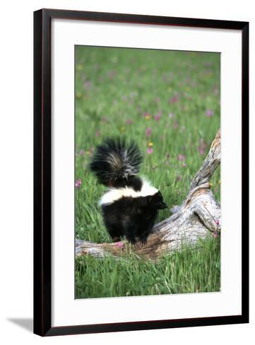 Striped Skunk in Field of Flowers, Montana-Richard and Susan Day-Framed Art Print