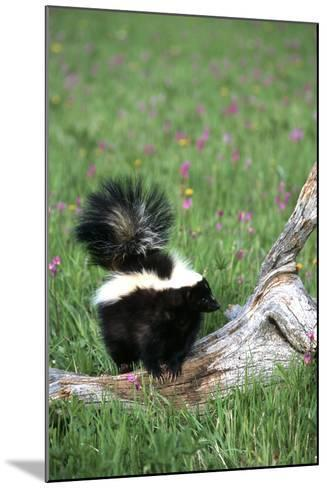 Striped Skunk in Field of Flowers, Montana-Richard and Susan Day-Mounted Photographic Print