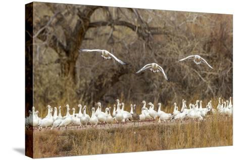 New Mexico, Bosque Del Apache National Wildlife Refuge. Snow Geese Taking Flight-Jaynes Gallery-Stretched Canvas Print