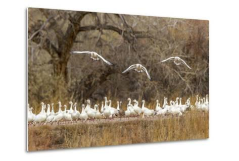 New Mexico, Bosque Del Apache National Wildlife Refuge. Snow Geese Taking Flight-Jaynes Gallery-Metal Print