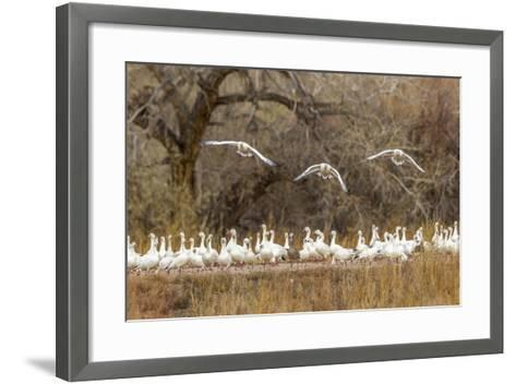 New Mexico, Bosque Del Apache National Wildlife Refuge. Snow Geese Taking Flight-Jaynes Gallery-Framed Art Print