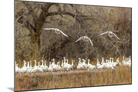New Mexico, Bosque Del Apache National Wildlife Refuge. Snow Geese Taking Flight-Jaynes Gallery-Mounted Photographic Print