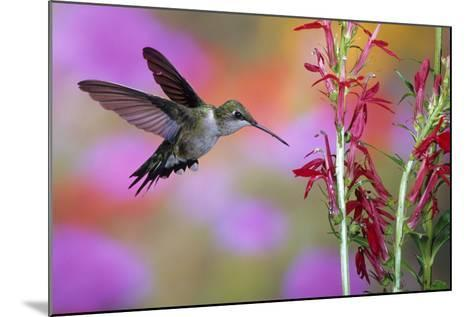 Ruby-Throated Hummingbird on Cardinal Flower, Marion County, Illinois-Richard and Susan Day-Mounted Photographic Print