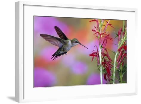 Ruby-Throated Hummingbird on Cardinal Flower, Marion County, Illinois-Richard and Susan Day-Framed Art Print