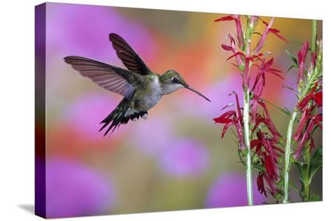 Ruby-Throated Hummingbird on Cardinal Flower, Marion County, Illinois-Richard and Susan Day-Stretched Canvas Print