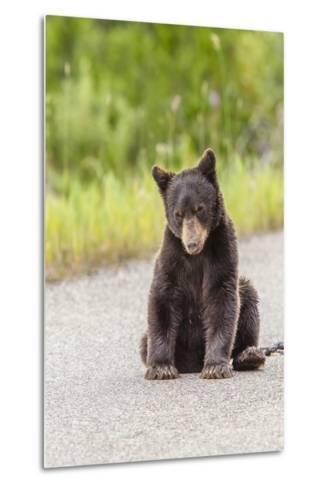 Glacier National Park, the Loser of Bear-Truck Collision on the Camas Road-Michael Qualls-Metal Print