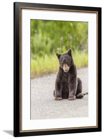 Glacier National Park, the Loser of Bear-Truck Collision on the Camas Road-Michael Qualls-Framed Art Print