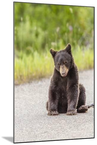Glacier National Park, the Loser of Bear-Truck Collision on the Camas Road-Michael Qualls-Mounted Photographic Print