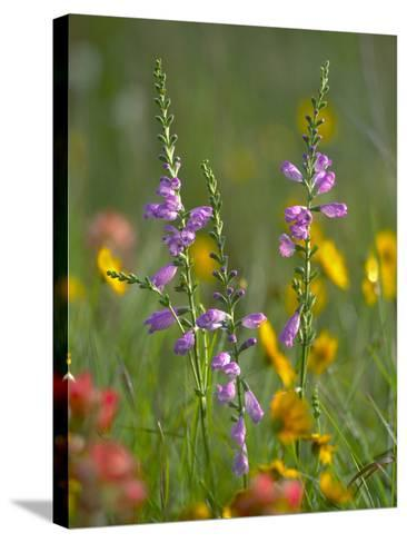 Penstemon in a Field of Other Wildflowers, Texas, Usa-Tim Fitzharris-Stretched Canvas Print