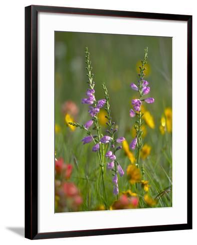 Penstemon in a Field of Other Wildflowers, Texas, Usa-Tim Fitzharris-Framed Art Print