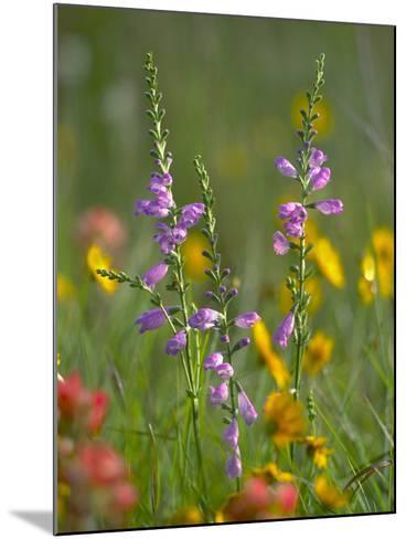 Penstemon in a Field of Other Wildflowers, Texas, Usa-Tim Fitzharris-Mounted Photographic Print