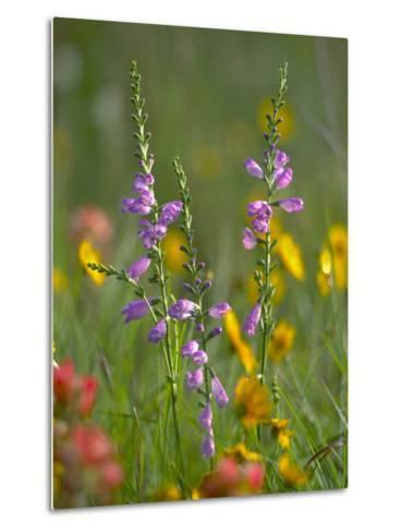 Penstemon in a Field of Other Wildflowers, Texas, Usa-Tim Fitzharris-Metal Print