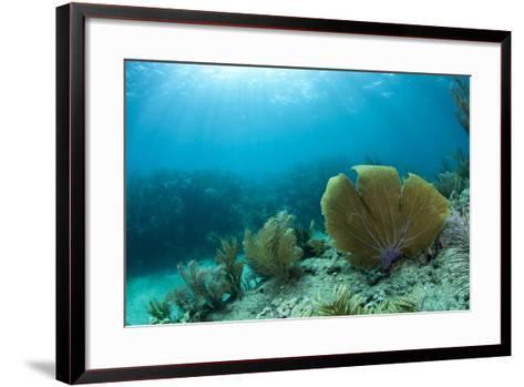 A Purple Sea Fan Sways in the Clear Blue Water of Looe Key Reef Off of Ramrod Key-James White-Framed Art Print