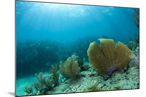 A Purple Sea Fan Sways in the Clear Blue Water of Looe Key Reef Off of Ramrod Key-James White-Mounted Photographic Print