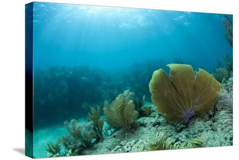 A Purple Sea Fan Sways in the Clear Blue Water of Looe Key Reef Off of Ramrod Key-James White-Stretched Canvas Print