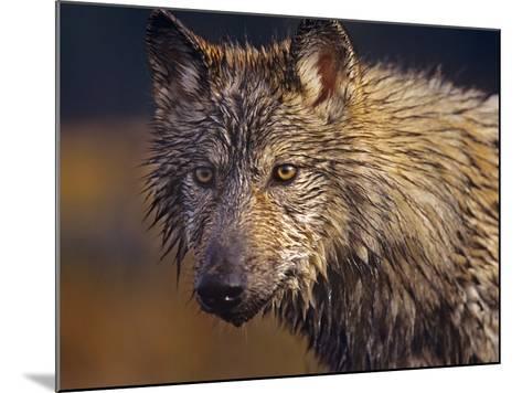 Gray Wolf Headshot, Montana-Tim Fitzharris-Mounted Photographic Print