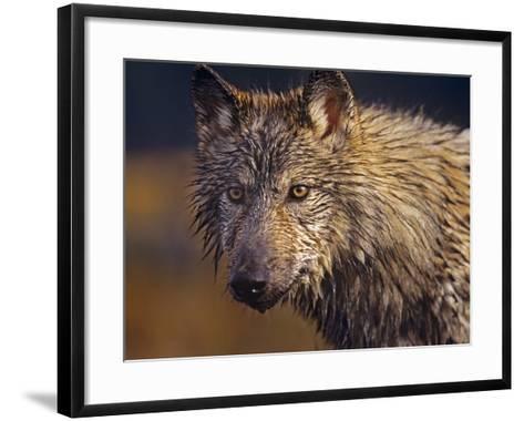 Gray Wolf Headshot, Montana-Tim Fitzharris-Framed Art Print