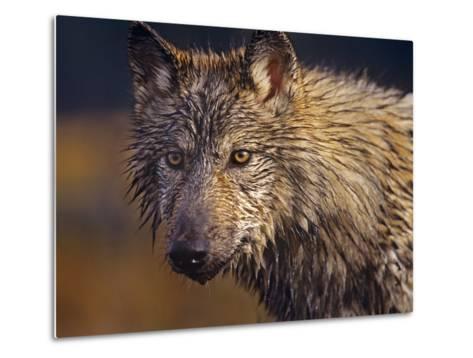 Gray Wolf Headshot, Montana-Tim Fitzharris-Metal Print