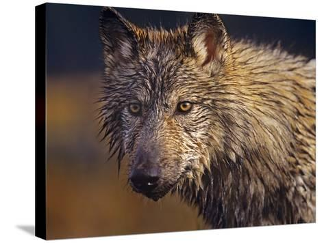 Gray Wolf Headshot, Montana-Tim Fitzharris-Stretched Canvas Print