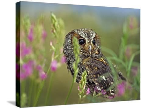 Flammulated Owl, British Columbia, Canada-Tim Fitzharris-Stretched Canvas Print