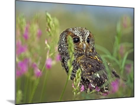 Flammulated Owl, British Columbia, Canada-Tim Fitzharris-Mounted Photographic Print