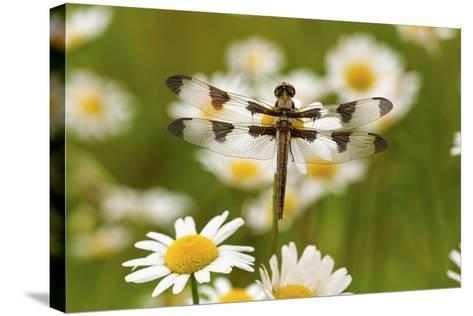 Female Blue Dasher Dragonfly on Daisy, Pachydiplax Longipennis, Kentucky-Adam Jones-Stretched Canvas Print