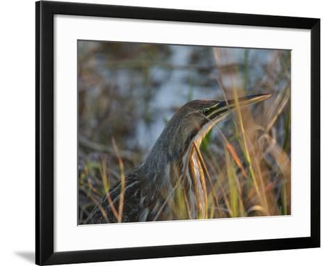 American Bittern, Viera Wetlands, Florida, Usa-Maresa Pryor-Framed Art Print