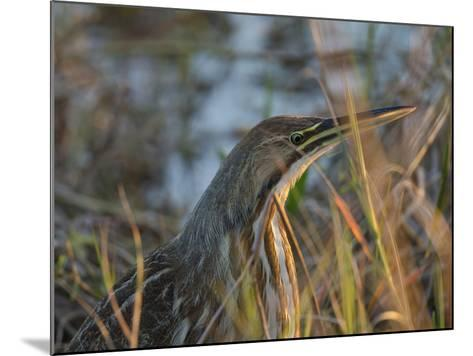 American Bittern, Viera Wetlands, Florida, Usa-Maresa Pryor-Mounted Photographic Print