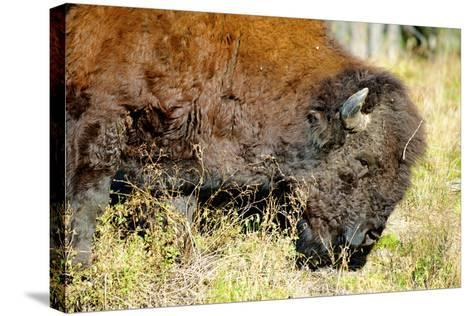 Wood Bison in Northern B.C-Richard Wright-Stretched Canvas Print