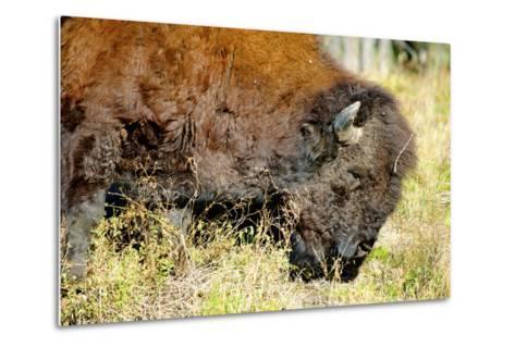 Wood Bison in Northern B.C-Richard Wright-Metal Print