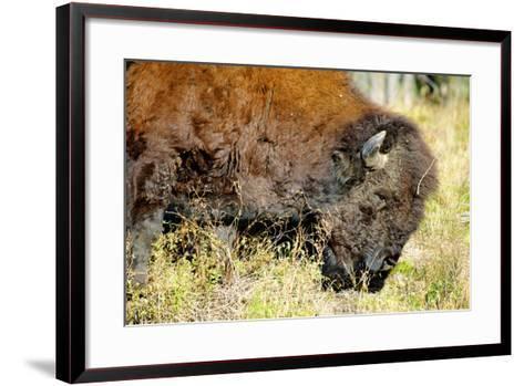 Wood Bison in Northern B.C-Richard Wright-Framed Art Print
