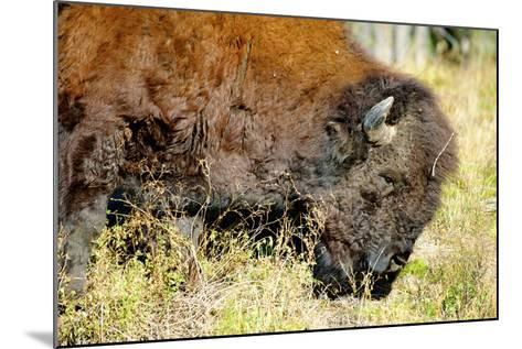 Wood Bison in Northern B.C-Richard Wright-Mounted Photographic Print