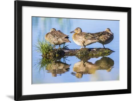 Wyoming, Sublette County, a Juvenile Cinnamon Teal Rest on a Small Mud Island in a Pond-Elizabeth Boehm-Framed Art Print