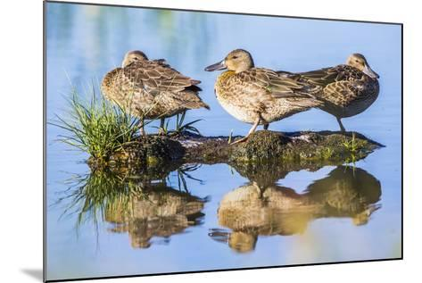 Wyoming, Sublette County, a Juvenile Cinnamon Teal Rest on a Small Mud Island in a Pond-Elizabeth Boehm-Mounted Photographic Print