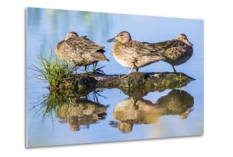 Wyoming, Sublette County, a Juvenile Cinnamon Teal Rest on a Small Mud Island in a Pond-Elizabeth Boehm-Metal Print