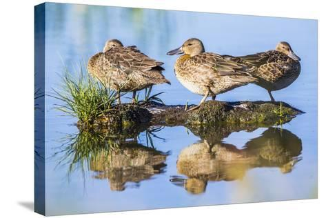 Wyoming, Sublette County, a Juvenile Cinnamon Teal Rest on a Small Mud Island in a Pond-Elizabeth Boehm-Stretched Canvas Print