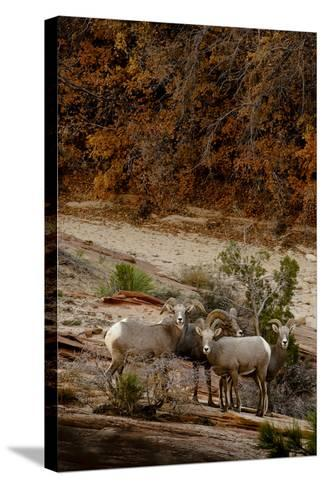 Utah, Zion National Park, Big Horn Sheep Gathered on Rocky Ledge with Autumn Foliage in Background-Judith Zimmerman-Stretched Canvas Print
