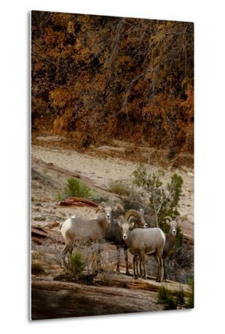 Utah, Zion National Park, Big Horn Sheep Gathered on Rocky Ledge with Autumn Foliage in Background-Judith Zimmerman-Metal Print