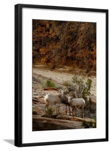 Utah, Zion National Park, Big Horn Sheep Gathered on Rocky Ledge with Autumn Foliage in Background-Judith Zimmerman-Framed Art Print