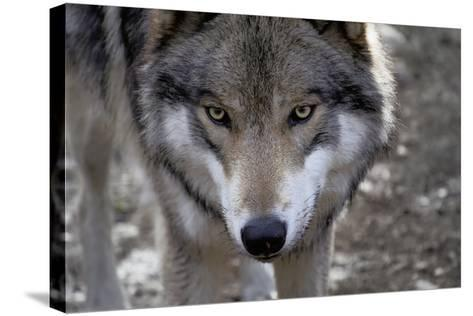 New Jersey, Columbia, Lakota Wolf Preserve. Close-Up of Timber Wolf's Head-Jaynes Gallery-Stretched Canvas Print