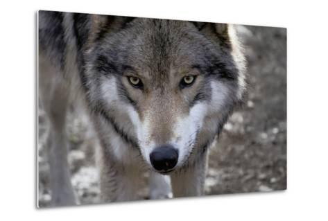 New Jersey, Columbia, Lakota Wolf Preserve. Close-Up of Timber Wolf's Head-Jaynes Gallery-Metal Print
