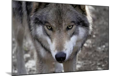 New Jersey, Columbia, Lakota Wolf Preserve. Close-Up of Timber Wolf's Head-Jaynes Gallery-Mounted Photographic Print