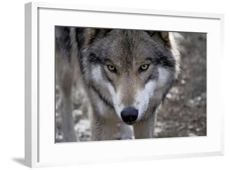 New Jersey, Columbia, Lakota Wolf Preserve. Close-Up of Timber Wolf's Head-Jaynes Gallery-Framed Art Print