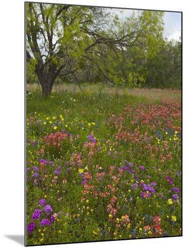 Paintbrush, Phlox, Evening Primrose Meadow, Atascosa County, Texas, Usa-Tim Fitzharris-Mounted Photographic Print